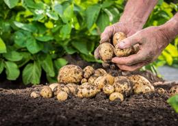 Der Weg der Kartoffel